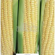 Кукуруза Каховка, юг Украины фото