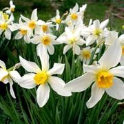 Нарцисс фото