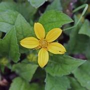 Хризогонум виргинский (Chrysogonum virginianum) фото