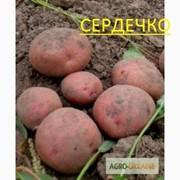 Картофель семенной фото
