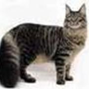 Кошки домашние, мейн-куны – американская енотовая кошка фото