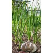 Чеснок, чеснок молодой, семена чеснока, стрелы чеснока фото