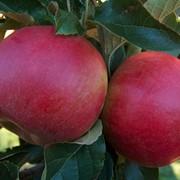 Яблоня Красный налив фото