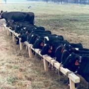 Разведение молочного крупно рогатого скота фото