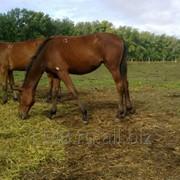 Лошади тракененской породы фото