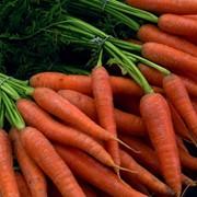 Ранняя морковь фото