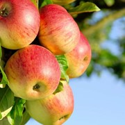 Фрукты, яблоки на экспорт из Узбекистана фото