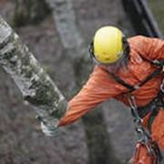 Кронирование, обрезка деревьев фото