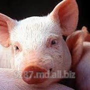 Свиньи в Молдове фото