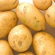 Картофель,(минерва)(оптом) фото