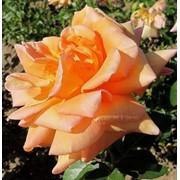 Среднерослые розы, Винер Чарм фото
