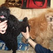Инструктор по вязкам собак разных пород фото