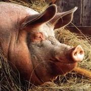 Комбикорма КК-55 для откорма свиней до жирных кондиций фото