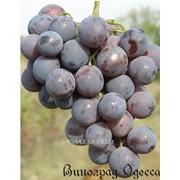 Виноград Кардинал привитый на Кобер 5бб фото