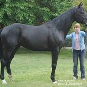 Продажа племенных и спортивных лошадей фото