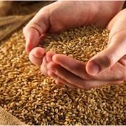 Зерно фуражное. Экспорт. Купить зерно. Поставки от 200 до 1000 тон. фото