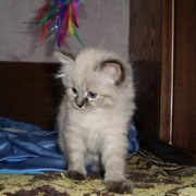 Невские маскарадные (сибирские) котята фото