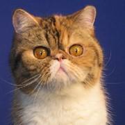Экзотическая кошка Барбара окрас черепаховый пятнистый с белым фото