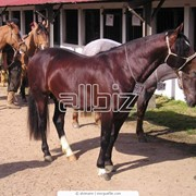 Продажа племенных лошадей,продажа лошадей фото