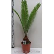 Растение Цикас № 2 фото