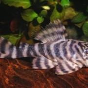 Рыбка Tiger Pleco Panaque фото