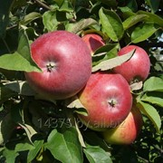 "Сорт яблок ""Чараунiца"" фото"