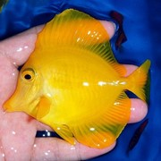 Желтая зебрасома M-Zebrasoma flavescens фото