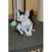 Котенок девон рекс (мальчик) фото