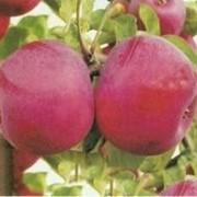 Яблоня Белорусское Сладкое фото