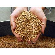 Закупаем зерно пшеничное фото