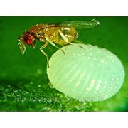 Авиавнесение трихограммы. Био защита растений от вредителей фото