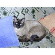 Вязка. Сиамский кот фото