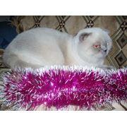 Шотландский фолд кот колор поинт для вязок фото