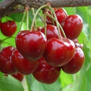 Саженцы вишни декоративной фото