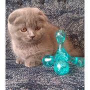 Шотландские котята различных окрасов фото