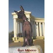 Кобель мексиканской голой собачки фото
