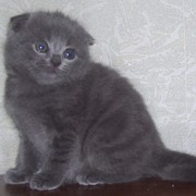 Котята короткошерстной шотландской вислоухой фото