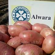 Картофель вид Альвара 2РС фото