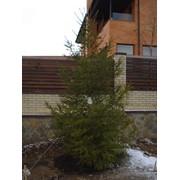 Ель зеленая от 2 м. до 5 м., крупномер, елка, продажа (купить), цена, продажа товара только по Харькову, розничная торговля фото