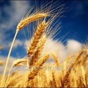 Seminte de griu la export din Moldova фото