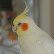 Попугай корелла - альбинос фото