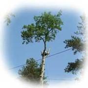 Спил и санитарная обрезка деревьев фото