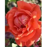 Роза Шраба Вестер Ленд фото