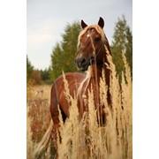 Лошадь Русский тяжеловоз фото