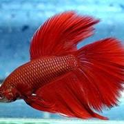 Рыбка петушок красный