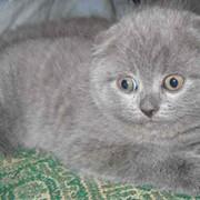 Шотландские котята классических окрасов. фото