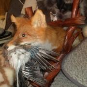 Чучело лис из птицей в зубах, на деревянной подставке, вес 4 кг фото