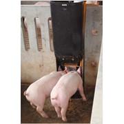 Кормовые автоматы для свиней фото