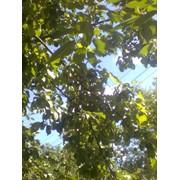 Обрезка веток деревьев Ирпень фото