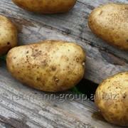 Семена картофеля в Молдове, Чайка фото